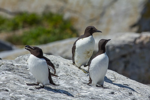 Razorbill (left) and pair of Common Murres