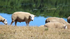 Sheeps by the lake