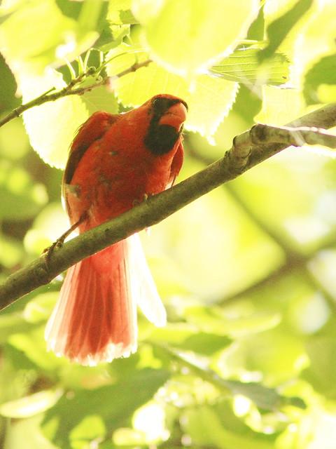 Northern Cardinal 3-20130814