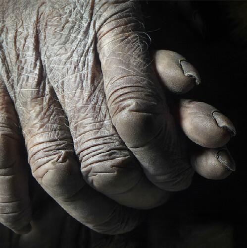 Tim Flach gorilla ape hands