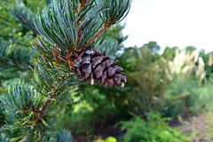 produce(0.0), larch(1.0), evergreen(1.0), shrub(1.0), flower(1.0), branch(1.0), pine(1.0), leaf(1.0), tree(1.0), nature(1.0), macro photography(1.0), flora(1.0), green(1.0), conifer cone(1.0), fir(1.0), spruce(1.0),