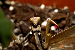 arthropod, animal, invertebrate, macro photography, mantis, fauna, close-up,