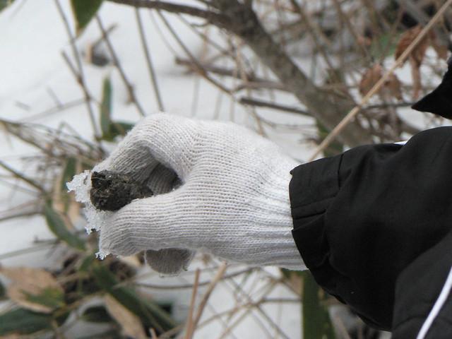 キツネのフン.素手でさわらないようにとの注意があり,観察.白い毛のようなものが見えた.