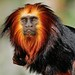 Lion Tamarin Monkey @ Apenheul by By Peter Hollander, thanks for + 200.000 views