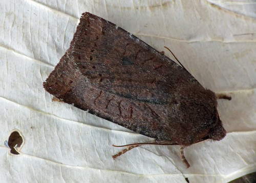 2259 Dark Chestnut - Conistra ligula