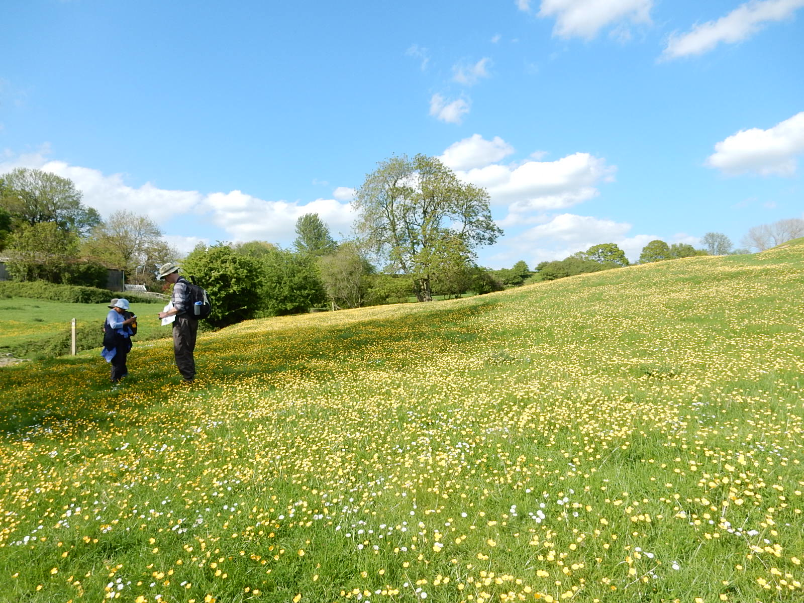 Buttercup meadow Near Pluckley. Sutton Valence to Pluckley