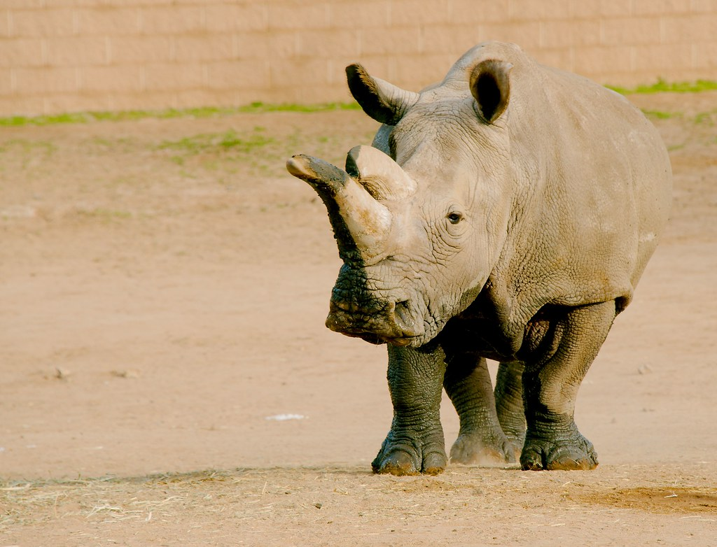 Northern white rhinoceros (Ceratotherium cottoni)_75