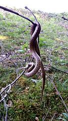 serpiente erlaitz 1