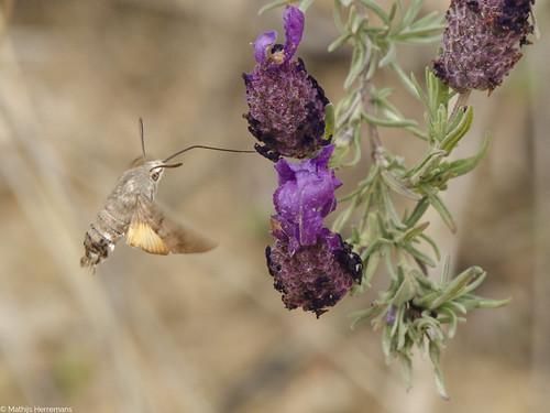 De kolibrievlinder (Macroglossum stellatrum)