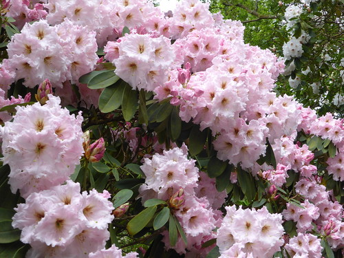 Rhododendrons (4)