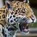 Ninja starting to yawn by Tambako the Jaguar