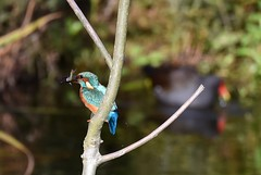 HolderKingfisher
