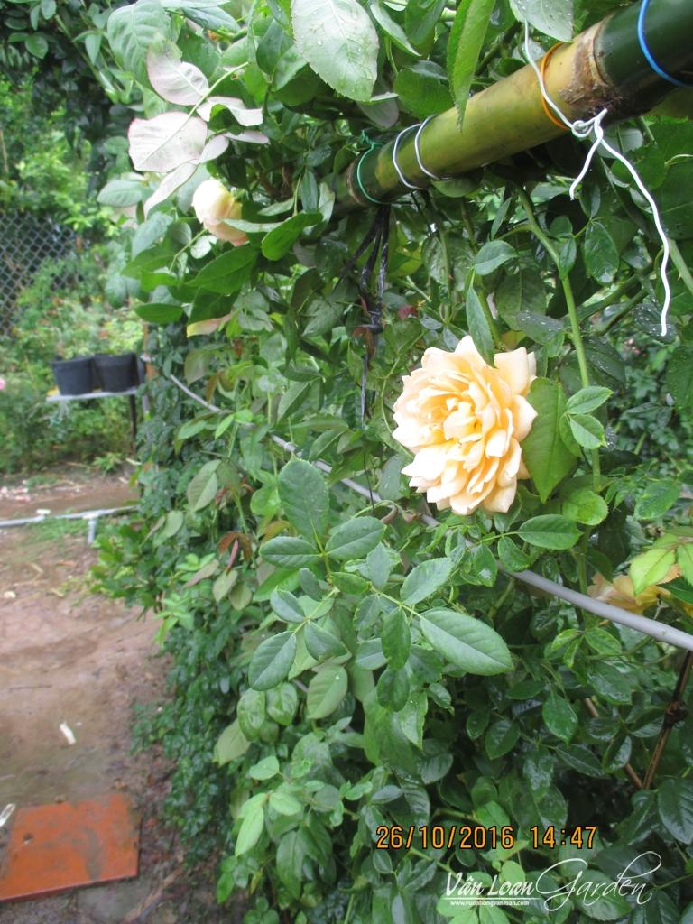 lam gian mat bang hoa hong leo (9)-vuonhongvanloan.com