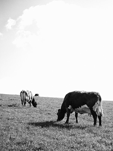 Cows on the meadow | by bwstock