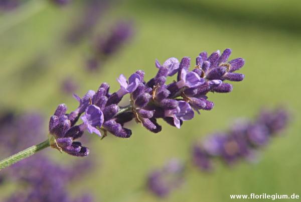 Mediterranes Flair im Garten mit Lavendel (Lavendula)