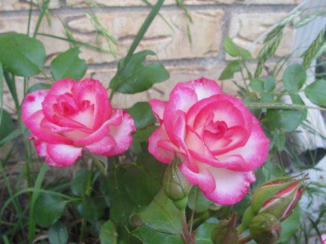 2012 Roses