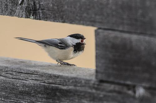 Chickadee Chirp-5580.jpg