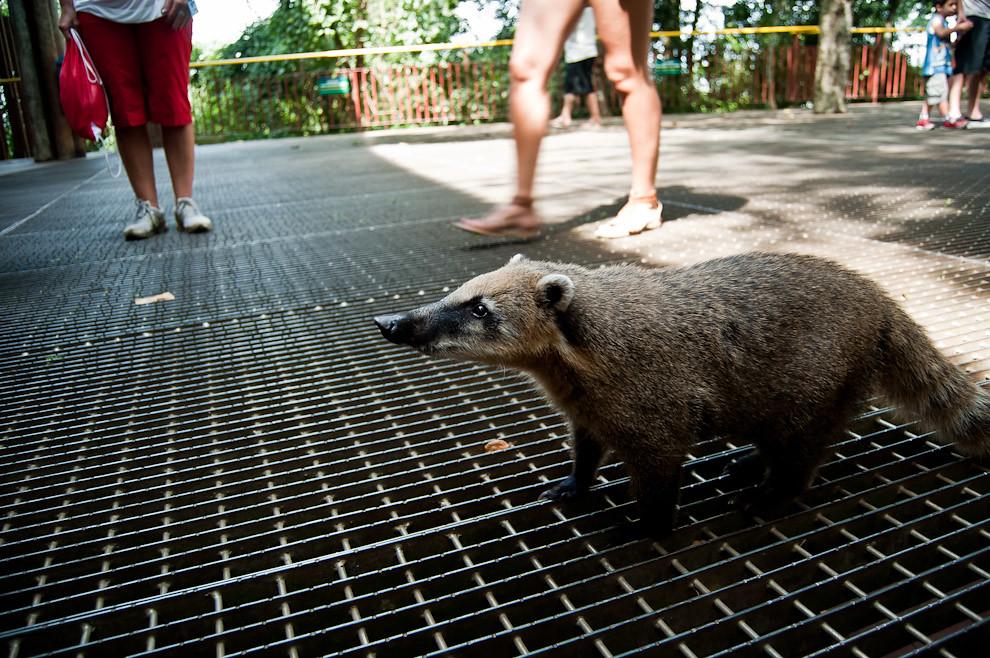 El infaltable encuentro de turistas con los residentes de las cataratas del Iguazú, los Coatíes, simpáticos animales que se acostumbraron a la presencia de mucha gente, buscando siempre alimentos que le arrojan, inclusive robando de las manos de quienes se descuidan. (Elton Núñez)