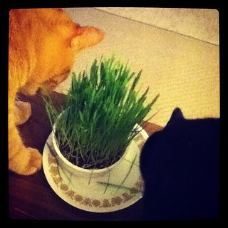 They love their grass! #catsofinstagram