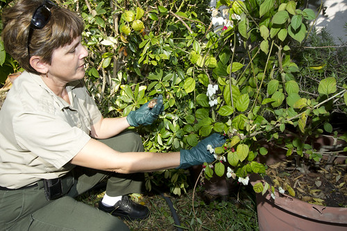 A homeowner reported seeing a giant African snail in her yard in September 2011. Since then, APHIS and FDACS officials have collected more than 40,000 of these massive mollusks.