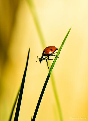 [フリー画像素材] 動物 2, 昆虫, てんとう虫・テントウムシ ID:201204280400