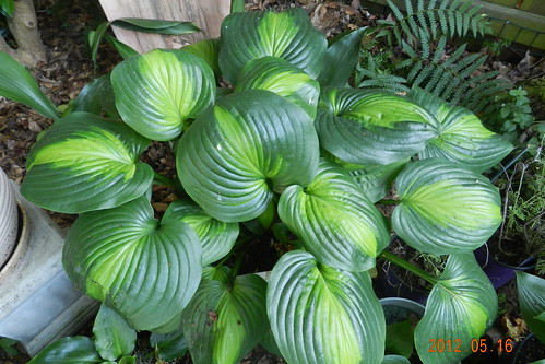 Hosta 'Holy Mole'