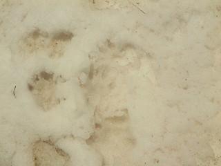 Empreintes des marmottes sur les névés