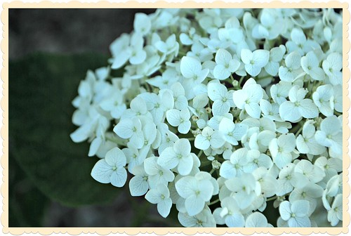 Summer is here and the Hydrangea is blooming