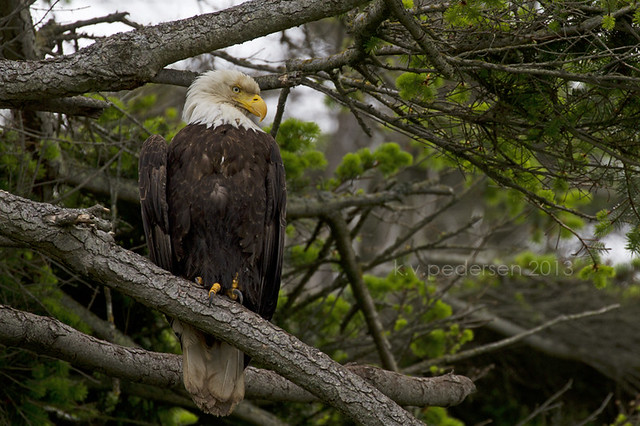 {wild isle wednesday} Bald Eagle
