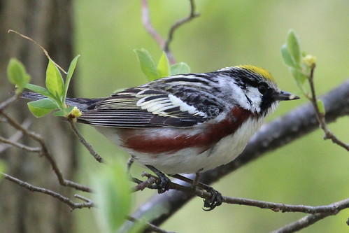 Chestnut sided warbler by ricmcarthur