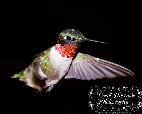 Male Ruby Throated Humming Bird