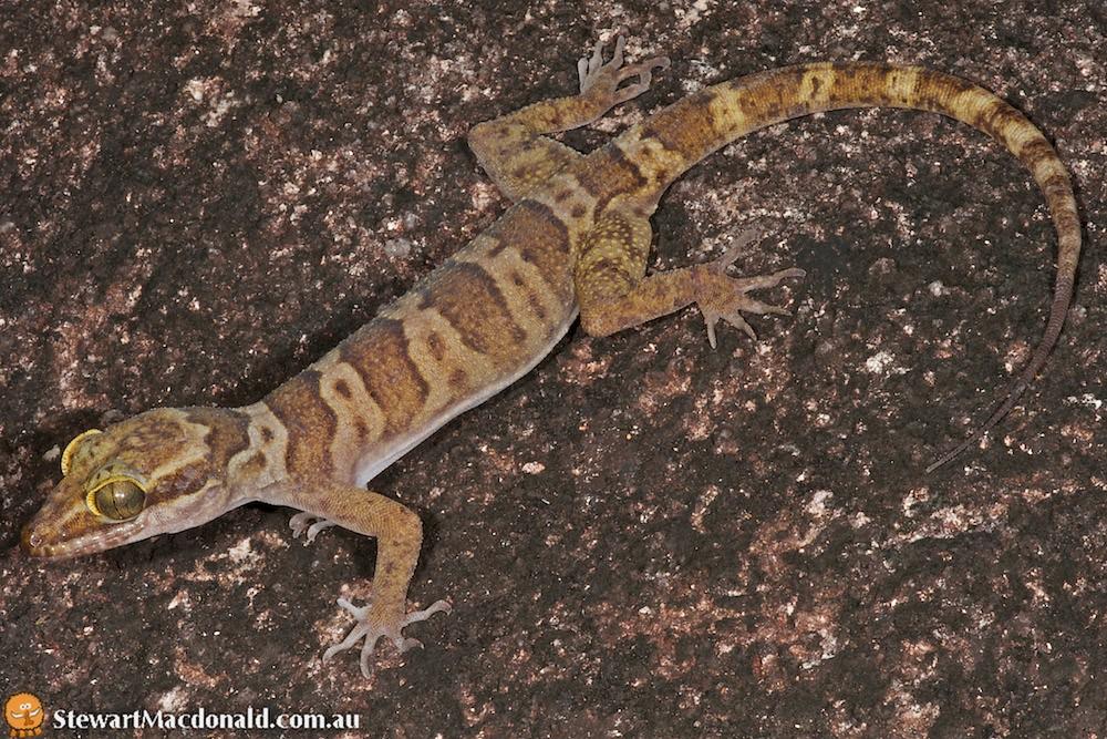 Cyrtodactylus hoskini