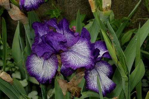 Iris Art Deco (9)