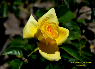 Yelow rose