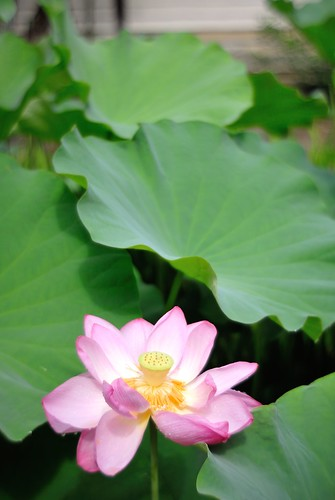 Lotus of Toshodai-ji Temple No.1.
