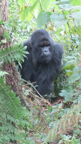 The first silverback came right out of the forest to us!