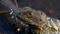 Northern Water Dragon