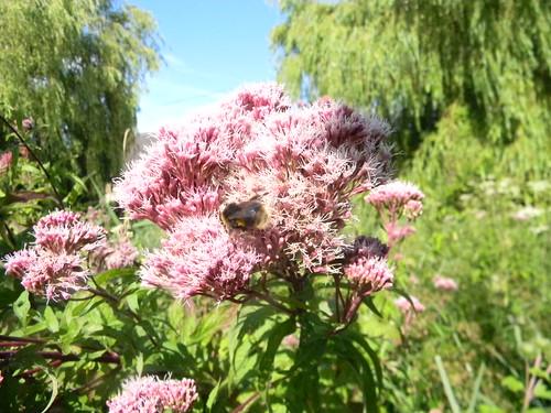 Bee on Hemp Agrimony