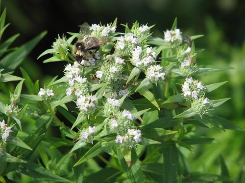 Pycnanthemum cf. tenuifolium