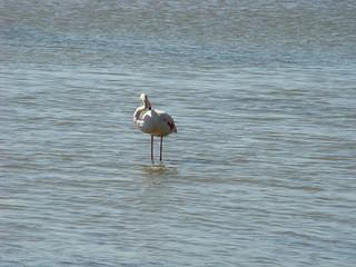 087 flamingo's