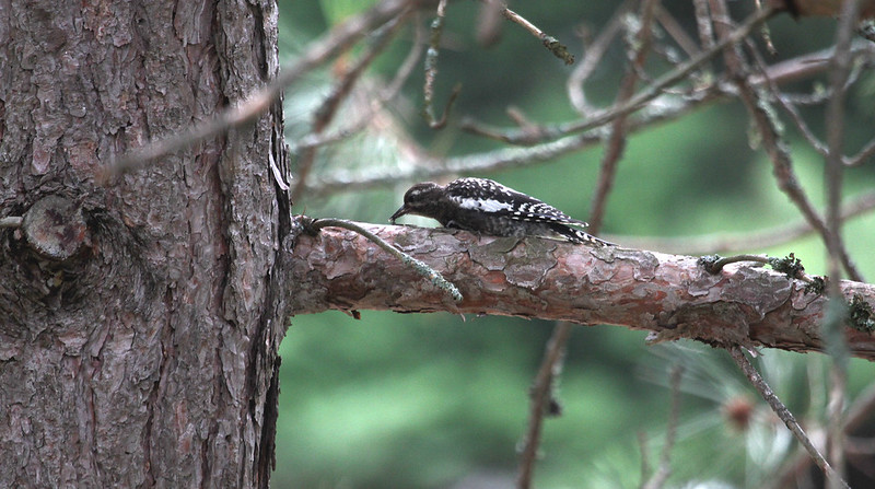 young hairy woodpecker2