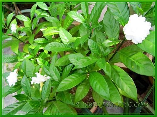 Potted Tabernaemontana divaricata cv. Flore Pleno (Crepe Gardenia, Crepe Jasmine) at the front yard, Aug 12 2013