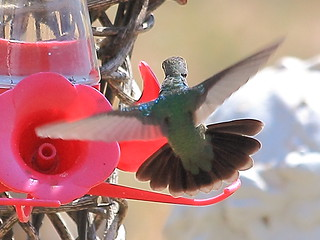 Broad-billed Hummingbird-Eastern NM- Curry Co