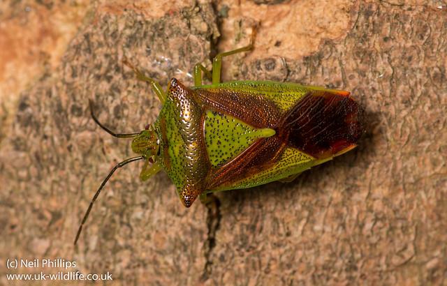 hawthorn shield bug Acanthosoma haemorrhoidale-10