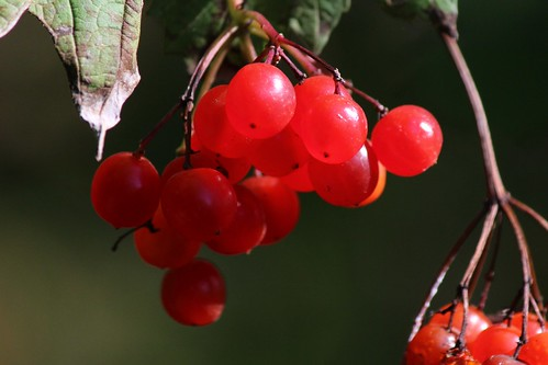 IMG_2865a_Red_Berries