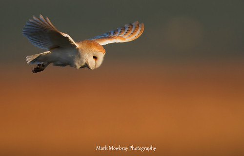Barn owl hunting in the golden hour.  Please like ..... if you do