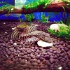 Mean ol pleco. Chases all the other fish away when he's eating.