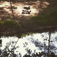 Mama and her ducklings by the creek. #ducks #ducklings #mama #creek #nature #birds #picoftheday