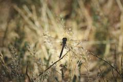 meadowhawk silhouette