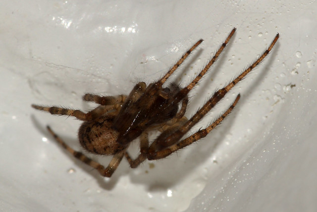 Spider Spider in the, Sony SLT-A65V, 105mm F2.8